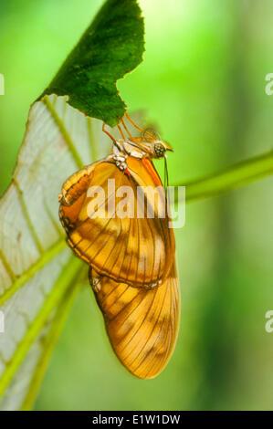 Julia Butterflyemerging fom pupa, (Dryas iulia) - Stock Photo