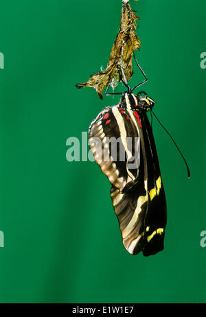 Zebra-longwing Butterfly, (Heliconius charitonius), emerging from pupal stage, ventral view, Costa Rica - Stock Photo