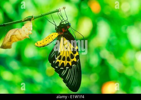 Common Birdwing Butterfly having emerged pupa (Troides helena) ventral view Australasia / Indomalaya ecozone (Australia). - Stock Photo