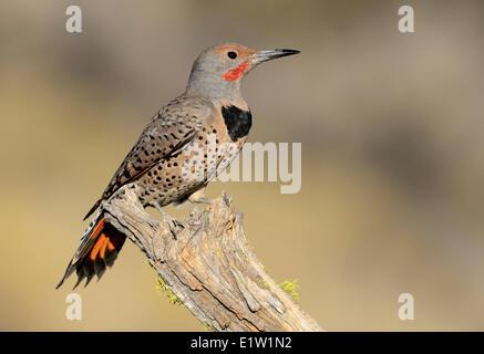 Northern Flicker (Colaptes auratus) - Deschutes National Forest, Oregon - Stock Photo