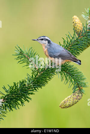 Red-breasted Nuthatch (Sitta canadensis) - Saanich BC, Canada - Stock Photo