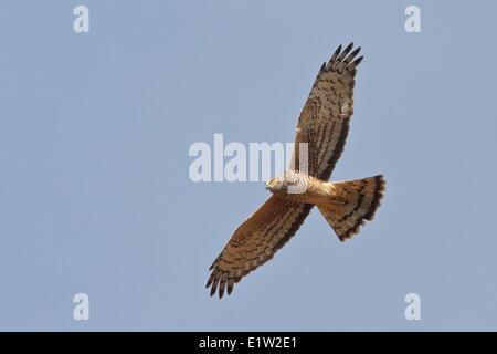 Cinereous Harrier (Circus cinereus) flying in Peru. - Stock Photo