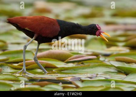 Wattled Jacana (Jacana jacana) perched in a wetland in Peru. - Stock Photo