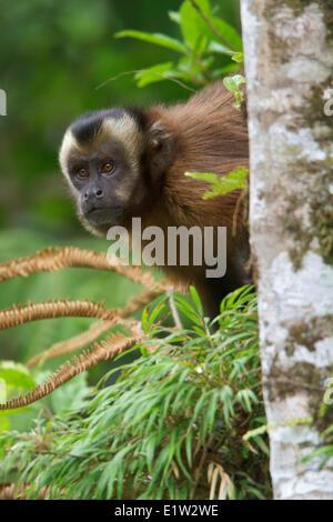 Brown Capuchin Monkey - Stock Photo