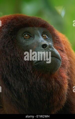 Red Howler Monkey - Stock Photo