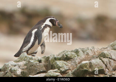 Humboldt Penguin (Spheniscus humboldti) perched on a rock in Peru. - Stock Photo