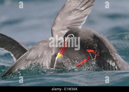 Inca Tern (Larosterna inca) swimming in the ocean in Peru. - Stock Photo
