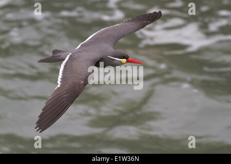 Inca Tern (Larosterna inca) flying in Peru. - Stock Photo