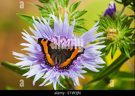 Milbert's Tortoiseshell butterfly (Nymphalis milberti) on Stoke's aster (Stokesia laevis) flower, summer, North - Stock Photo