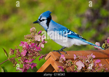 Blue Jay (Cyanocitta cristata) in backyard garden with hydrangeas. Autumn. Nova Scotia, Canada. - Stock Photo