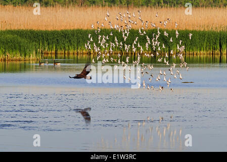 Bald Eagle (Haliaeetus leucocephalus) immature disturbs flock migrating dunlins (Calidris alpina) in a freshwater - Stock Photo