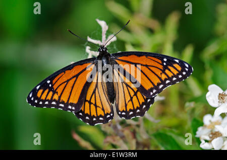 Viceroy butterfly (Limenitis archippus) spring, Lake Erie region, North America. - Stock Photo