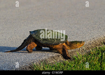 Common Snapping Turtle (Chelydra serpentina) crossing road, spring, Lake Erie shoreline, Ohio, USA. - Stock Photo