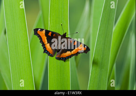 Milbert's Tortoiseshell butterfly (Nymphalis milberti) on blue flag. North America. - Stock Photo