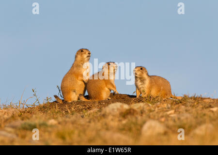 Black-tailed prairie dogs (Cynomys ludovicianus), at burrow entrance, Wind Cave National Park, South Dakota. - Stock Photo
