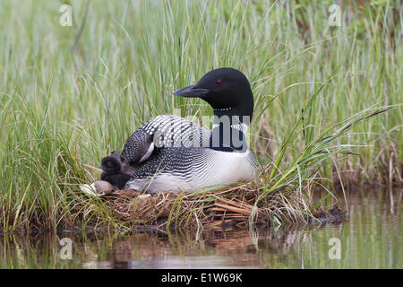 Common loon (Gavia immer) adult with chick on nest interior British Columbia. The less-than-a-day old chick is next - Stock Photo