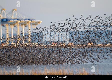 Dunlin (Calidris alpina), flock in flight near Deltaport shipping terminal,  Brunswick Point, Delta, British Columbia. - Stock Photo