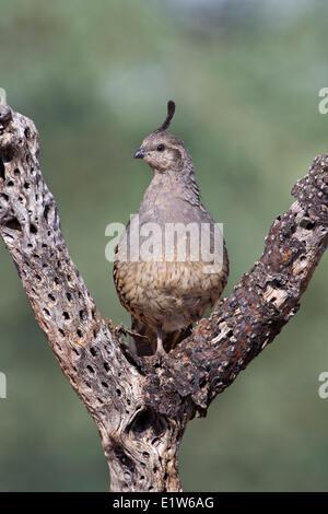 Gambel's quail (Callipepla gambelii), female in dead cholla (Cylindropuntia sp.), Elephant Head Pond, Amado, Arizona. - Stock Photo