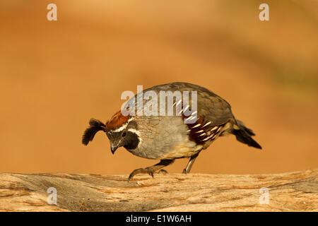 Gambel's quail (Callipepla gambelii), male, Elephant Head Pond, Amado, Arizona. - Stock Photo