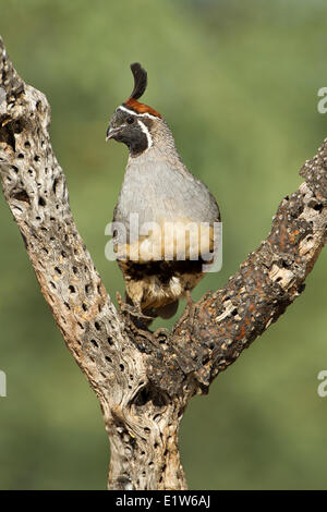 Gambel's quail (Callipepla gambelii), male on dead cholla (Cylindropuntia sp.),  Elephant Head Pond, Amado, Arizona. - Stock Photo
