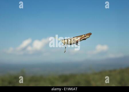 Grasshopper, probably family Acrididae, on windshield, Agua Caliente Canyon, near Amado, Arizona. - Stock Photo