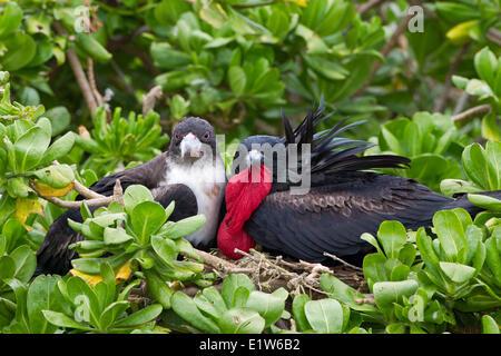 Great frigatebird (Fregata minor palmerstoni) male female at nest  in naupaka kauhakai (Scaevola sericea) Eastern - Stock Photo