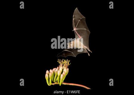 Lesser long-nosed bat (Leptonycteris yerbabuenae), feeding on Agave flower, Amado, Arizona. This bat is listed as vulnerable.