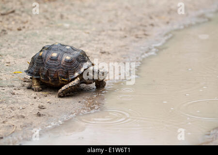 Texas tortoise (Gopherus berlandieri) male about to drink at puddle in dirt road Martin Refuge near Edinburg South - Stock Photo