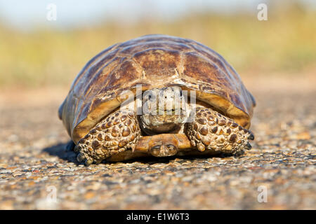 Texas tortoise (Gopherus berlandieri), male,(very briefly controlled), Laguna Atascosa National Wildlife Refuge, - Stock Photo