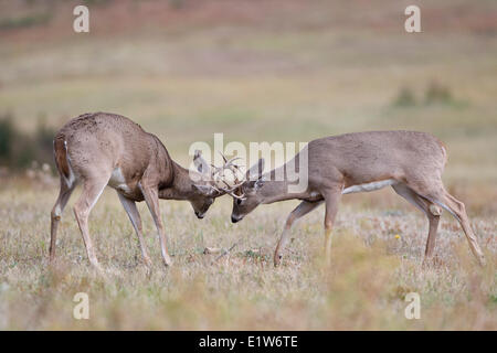 White-tailed deer (Odocoileus virginianus), bucks sparring, Custer State Park, South Dakota. - Stock Photo