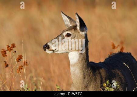White-tailed deer (Odocoileus virginianus), doe, Custer State Park, South Dakota. - Stock Photo