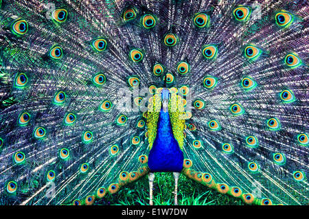 Blue Peacock, (Pavo cristatus) - Stock Photo
