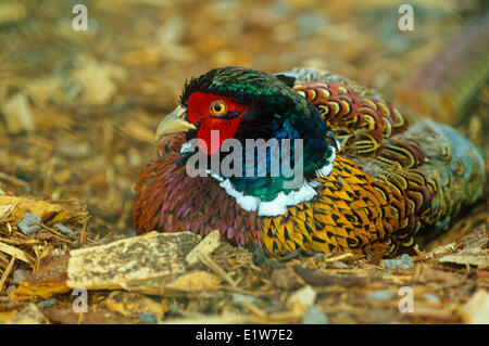 Ring-necked Pheasant, (Phasianus colchicus) - Stock Photo