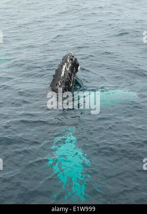 Humpback Whale Spy-hopping, (Megaptera novaeangliae, Witless Bay Ecological Reserve, Newfoundland, Canada - Stock Photo