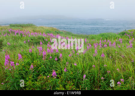 Fireweed in fog and Bay of Fundy, Brier Island, Nova Scotia, Canada - Stock Photo