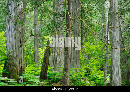 Old growth forest in Inland temperate rain forest on Giant Cedars Trail Mount Revelstoke National Park British Columbia - Stock Photo