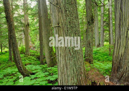Old growth forest in Inland temperate rain forest on the Hemlock Grove Trail, Glacier National Park, British Columbia, - Stock Photo