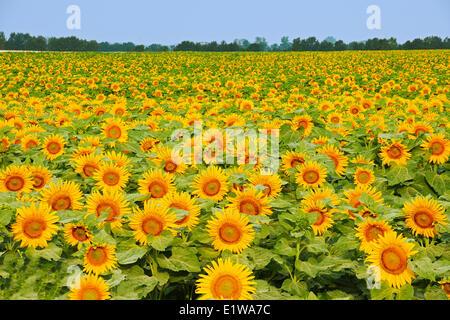Field of sunflowers, Dugald, Manitoba, Canada - Stock Photo