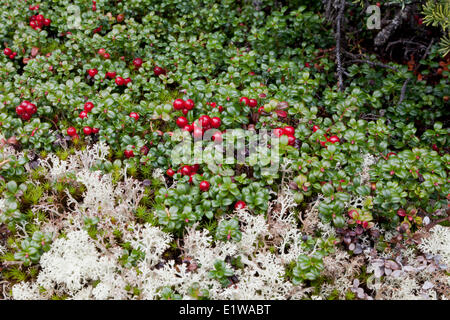 Lingonberry (Vaccinium vitis-idaea) or cowberry Tombstone Territorial Park Yukon - lingonberries are often called - Stock Photo