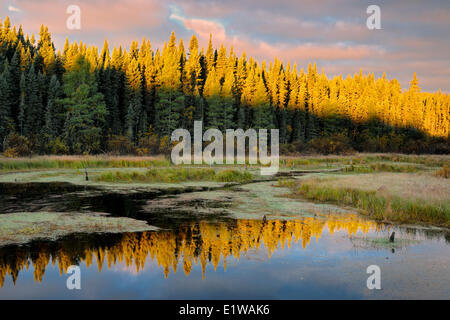 Boreal forest reflection in wetland at sunrise, Ear Falls, Ontario, Canada - Stock Photo