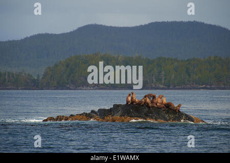 Stellar Sea Lions (eumetopias jubatus) in Quenn Charlotte Strait, British Columbia, Canada - Stock Photo