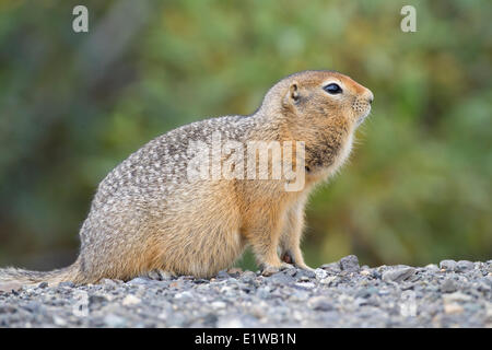 An Arctic Ground Squirrel (Spermophilus Parryii) with full cheeks in Tombstone Territorial Park, Yukon, Canada - Stock Photo
