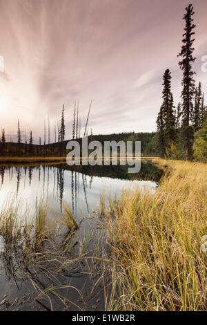 Spindly spruce trees wetlands at sunset in West Fork Campground Fortymile National Wild Scenic River System Alaska - Stock Photo
