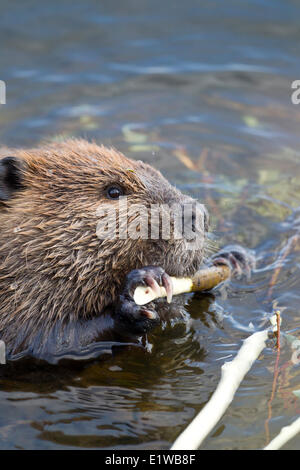North American Beaver (Castor canadensis) chewing a stick in Two Moose Lake in Tombstone Territorial Park, Yukon, - Stock Photo