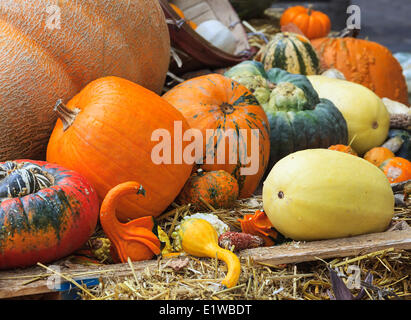 Thanksgiving display of fall harvest, pumpkins, squash and gourds, Mont Tremblant, Quebec, Canada - Stock Photo