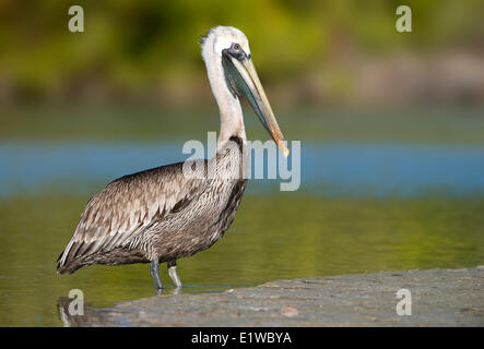 Brown Pelican (Pelecanus occidentalis) - Fort Myers Beach, Florida - Stock Photo