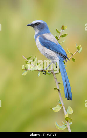 Florida Scrub Jay (Aphelocoma coerulescens) - Cruickshank Sanctuary, Florida - Stock Photo