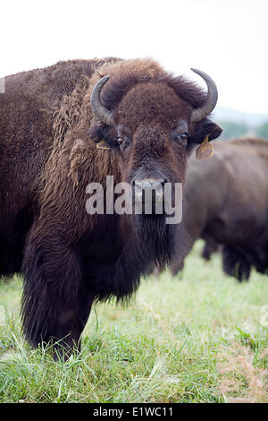 Bison or buffalo are l...