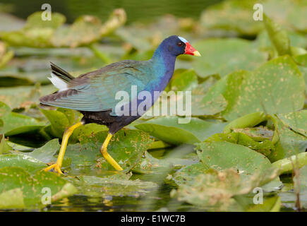 Purple Gallinule (Porphyrio martinicus) - Venetian Gardens, Leesburg Florida - Stock Photo