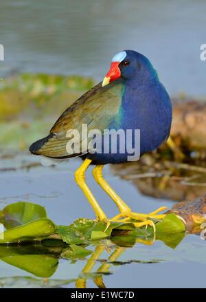 Purple Gallinule (Porphyrio martinicus) - Venetian Gardens, Leesburg Florida - Stock Photo